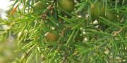 Genevrier fruits
