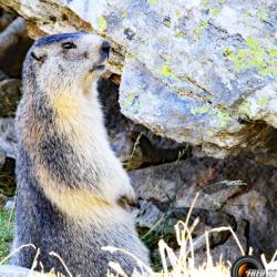 Marmotte près du lac.