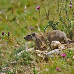 Les marmottes sont omniprésentes lors de la montée.