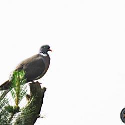 Pigeon ramier.