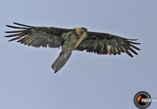 Aigle près du lac de Guio.