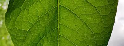 Renouee du japon feuilles