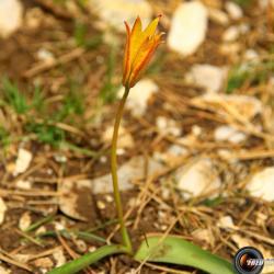 Tulipe australe prés du sommet.